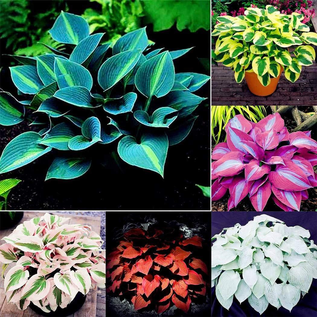 Beautytalk Seeds 150pcs Colorful Leaves Seeds Color Grass Ornamental Seeds Hardy Perennial Coleus Plant Pots for Barkon Garden
