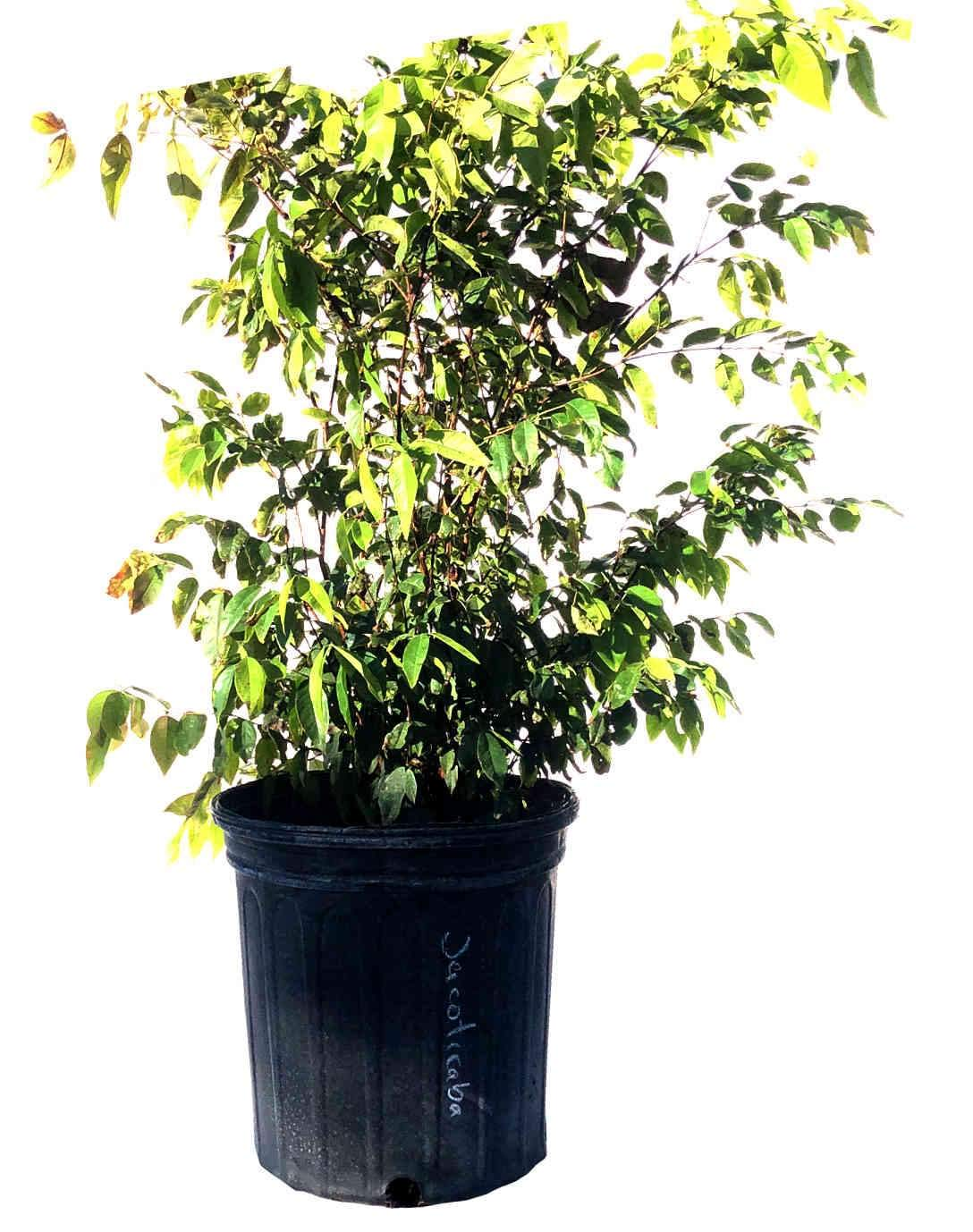 Jaboticaba Tree, 2 Feet Tall, 3-gal Container from Florida by Akashic Herb Co. Inc. (Image #1)