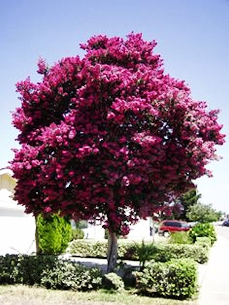 Large Twilight Crape Myrtle, 2-4ft Tall When Shipped, Matures 22ft Tall, 1 Tree, Rich Sunset Purple/Pink (Shipped Well Rooted in Pots with Soil) by The Crape Myrtle Company