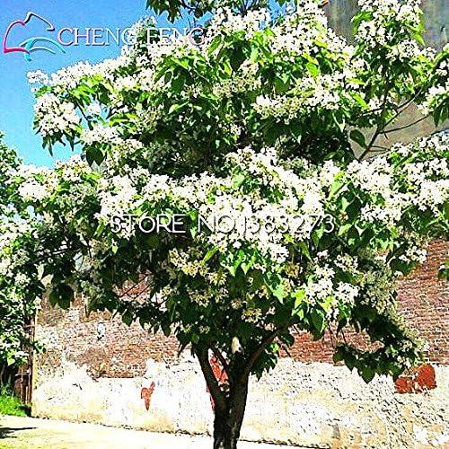 100pcsCatawba de árboles Catalpa Semillas familiares Jardín Norte perennes semillas de árboles de floración de plantas Plantas Hardy: Amazon.es: Jardín