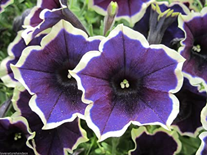 No Petunias Were Harmed In >> Amazon Com Picotee Petunia Large Blue Flowers Edged White Planters