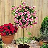 Hochstämmige Meillandina Rose rosa - 1 rose