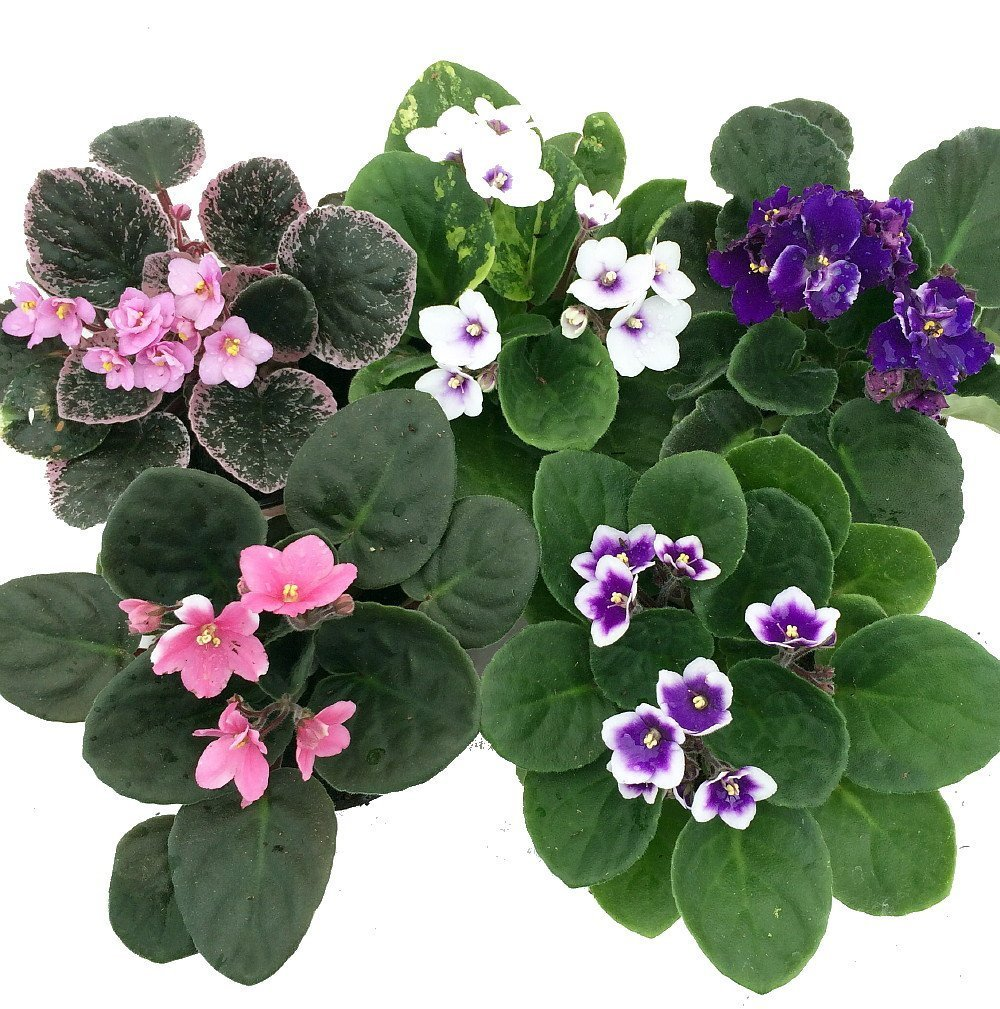 Novelty African Violet - 4'' Clay Pot/Better Growth - Best Blooming Plant