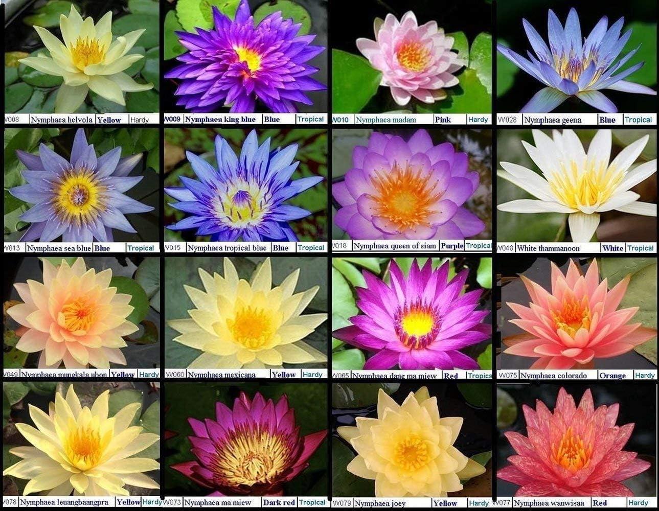 20 pcs Mix Color Hardy Water Lily Aquarium Freshwater Fish Pond