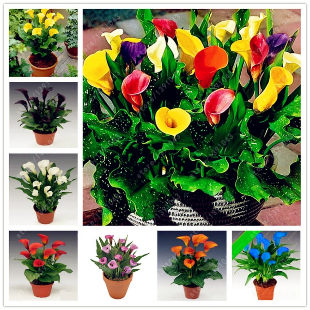 100 Pieces Calla Lily Flower Seeds Rare Colorful Home Garden Plants Seed DIY Bonsai Shiningup