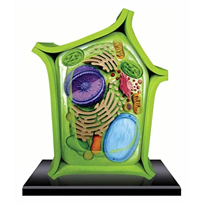 Beautifully Detailed Plant Cell Anatomy Model - 24 Detachable Parts! (Age 8+): Toys & Games