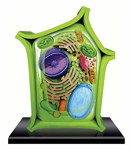 Amazon.com: Beautifully detailed Plant Cell Anatomy Model - 24 ...