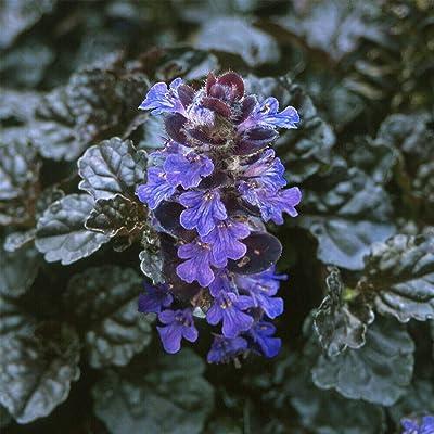 "AchmadAnam - 1 3/4"" Pots - 24 Plants - Black Scallop Bugleweed - Ajuga - New! - Darkest Form, Plant, Tree, Fern : Garden & Outdoor"