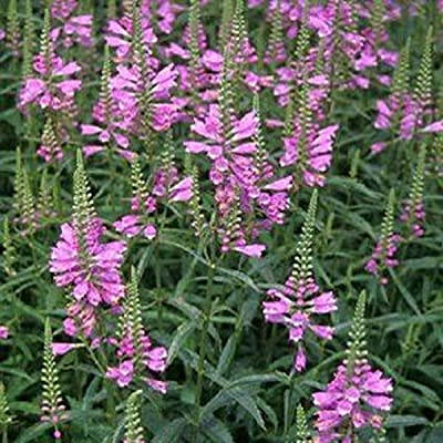 Obedient plant- Physostegia- Pink- 50 seeds : Garden & Outdoor