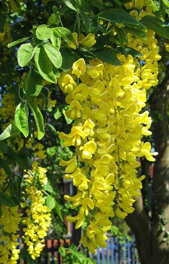 Precioso Golden Chain Árbol, anagyroides Laburnum, 60 semillas (llamativa, Seto, Pergola): Amazon.es: Jardín
