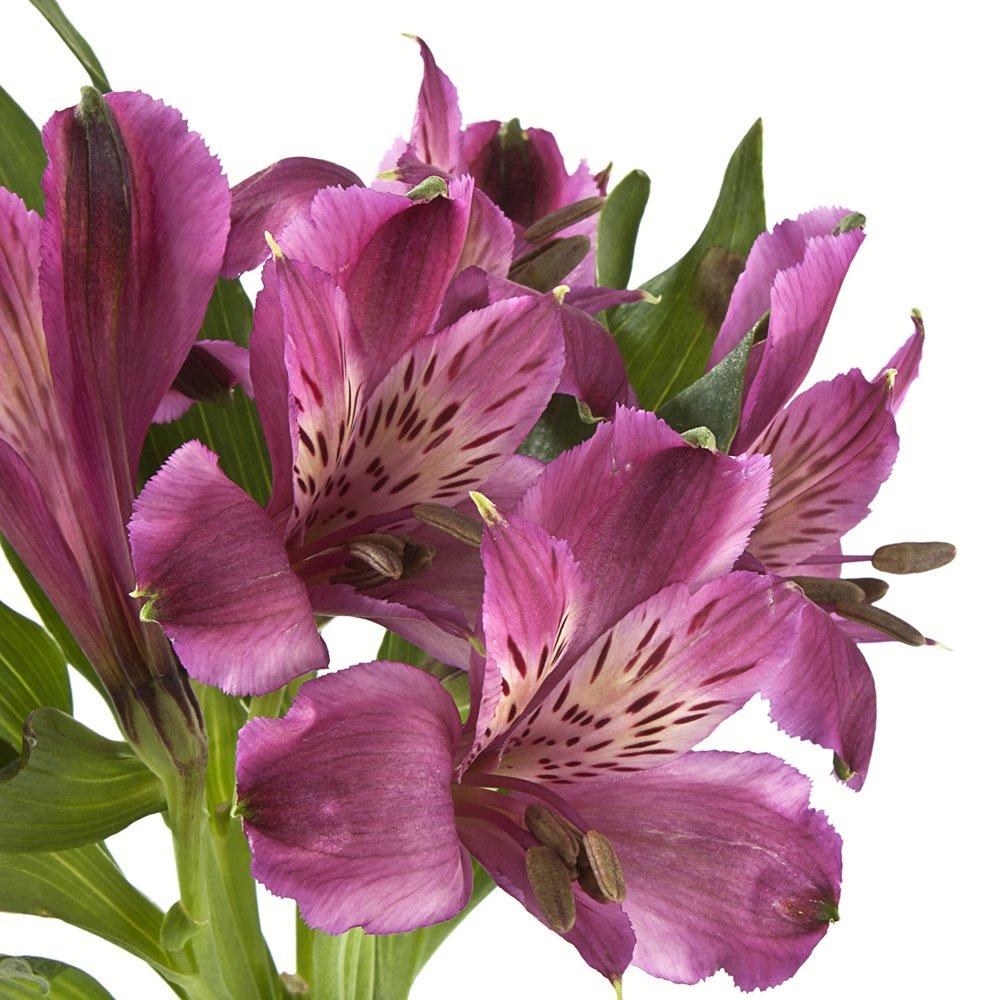 eFlowy - 160 Purple Alstroemerias - Peruvian Lilies Wholesale