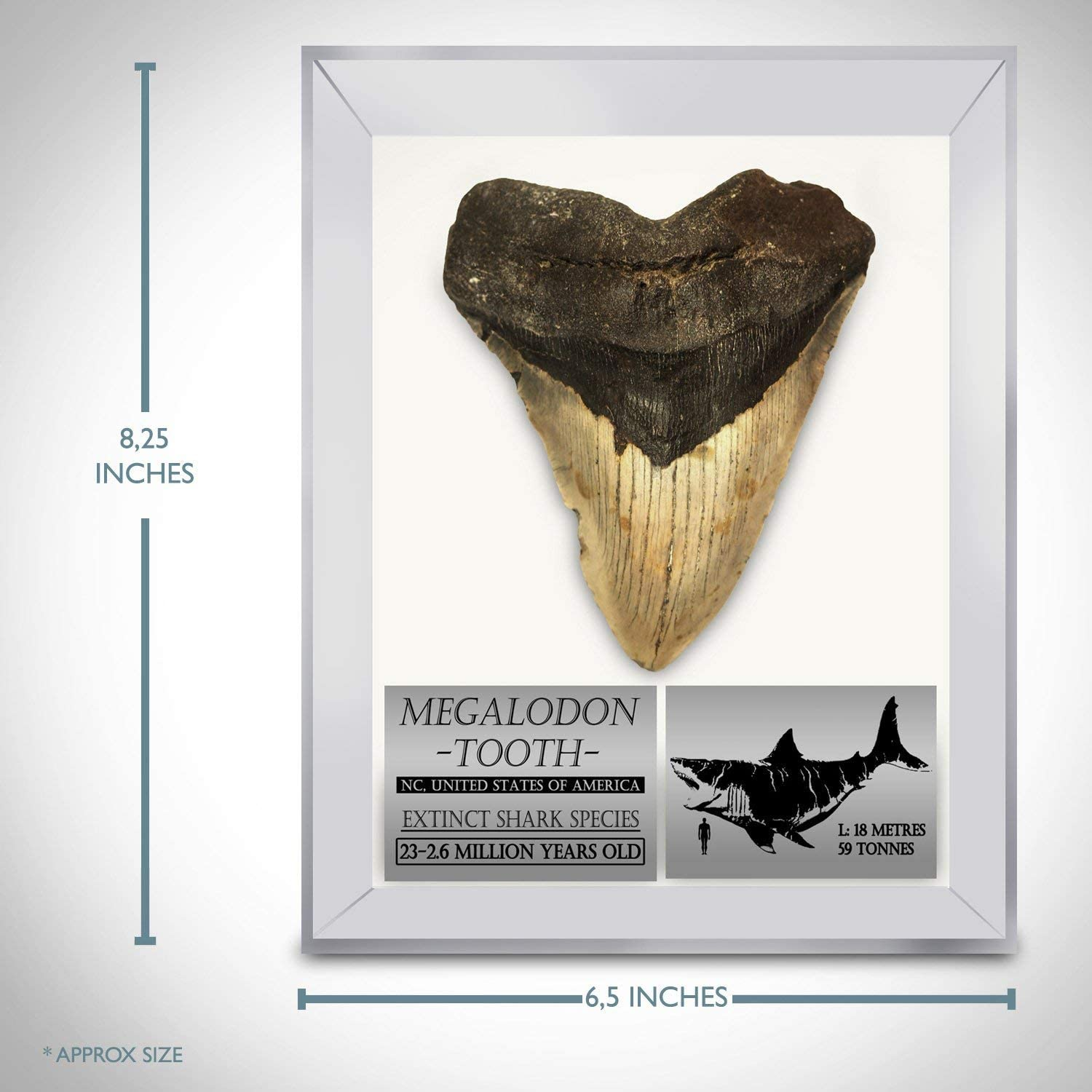 860 REPLICA Megalodon 7 inch tooth if this was not a replica it would be in a museum for size and it needs a good home in your collection.
