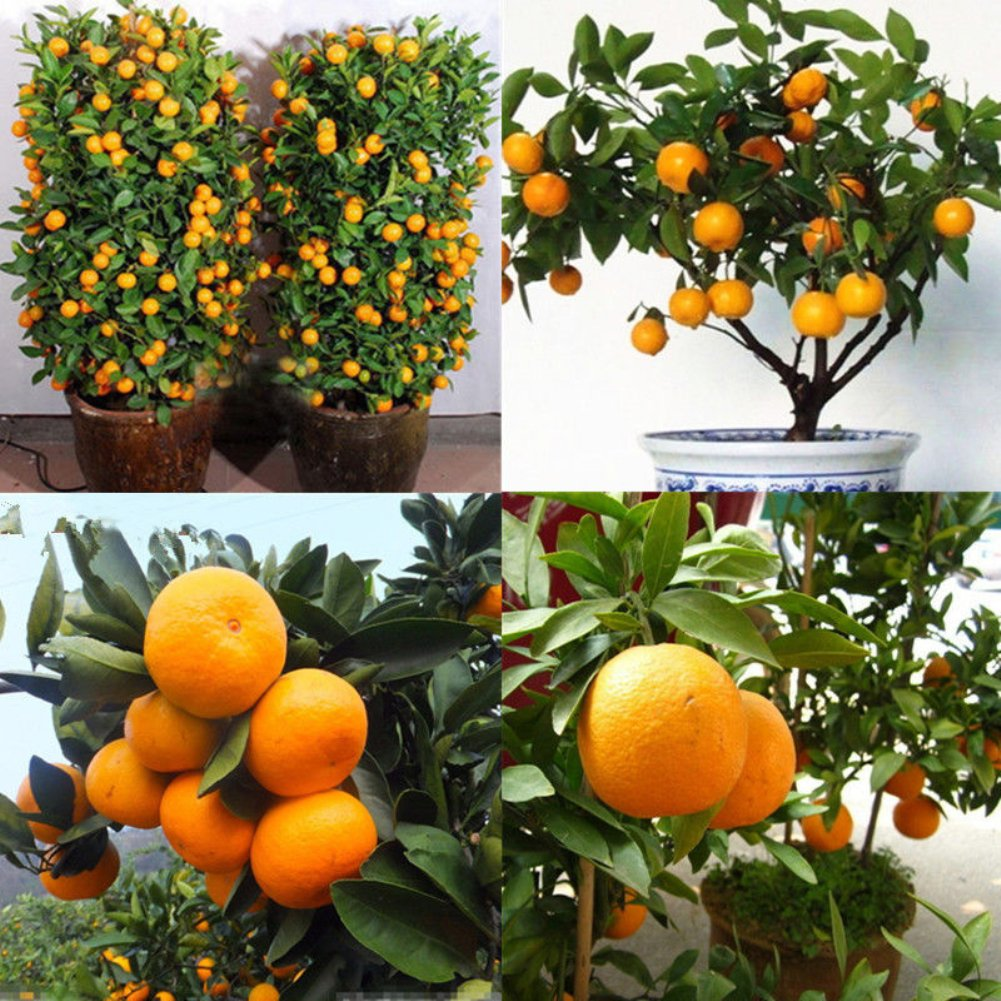 Homeofying 30Pcs Edible Fruit Mandarin Citrus Orange Bonsai Tree Seeds Plants Home Garden