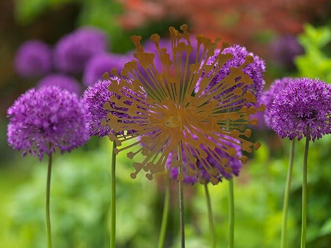 Metallmichl Edelrost Blumenstecker Allium 40cm Durchmesser (Flach ...