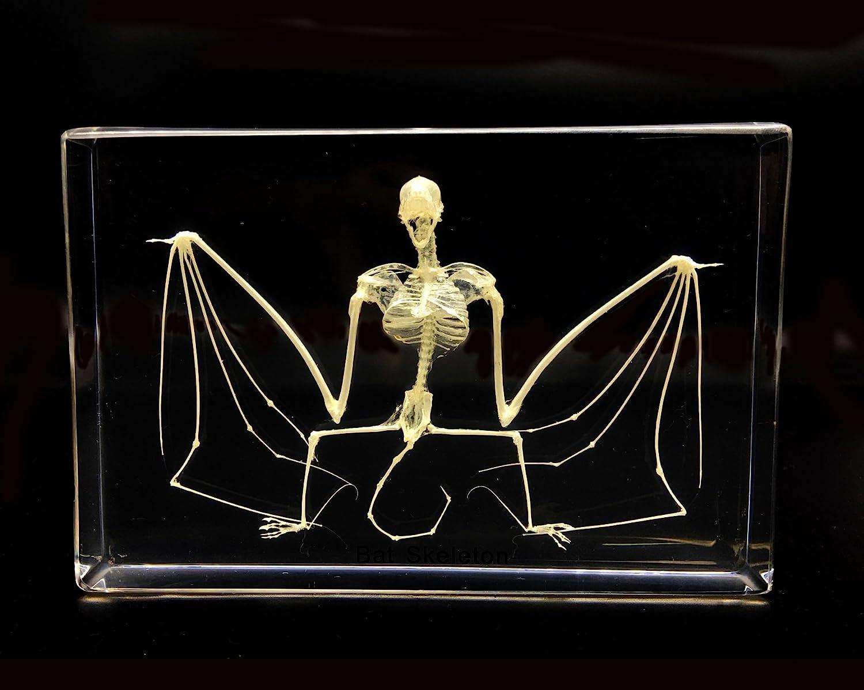Bat skeleton Specimen in Acrylic Block Paperweights Science Classroom Specimens for Science Education Amazingbug