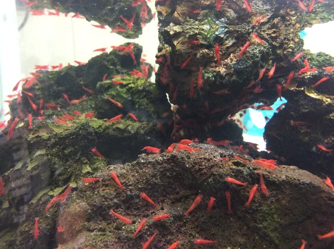 Supershrimp (Group of 10, Tank/Container not Included)
