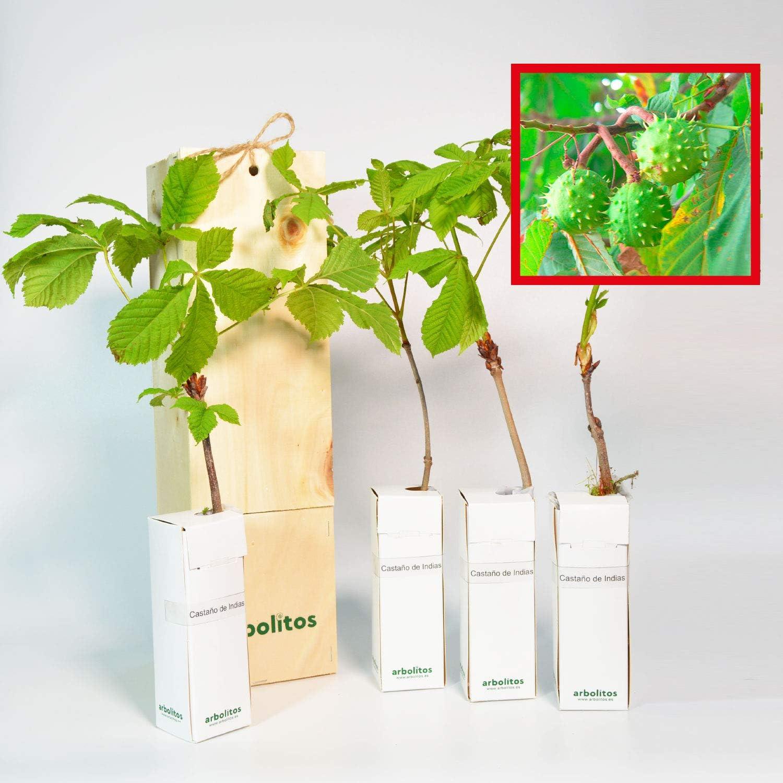 CASTAÑO DE INDIAS - Arbolito de pequeño tamaño en caja de madera - Ideal para regalar (4)