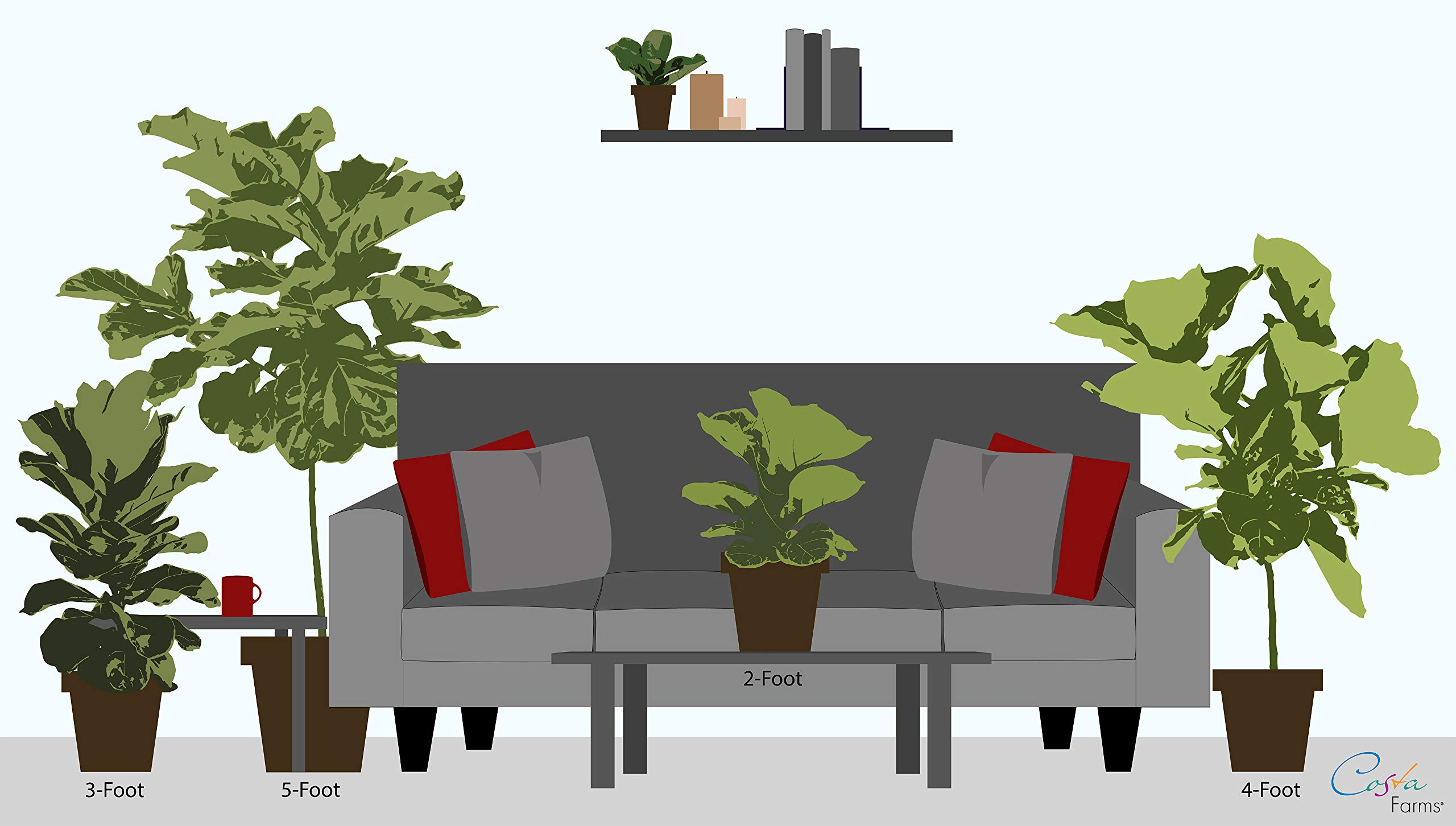 Costa Farms Live Ficus Lyrata, Fiddle-Leaf Fig, Floor Plant, 4-Feet Tall, Ships in Seagrass Basket, White-Natural, Fresh From Our Farm by Costa Farms (Image #3)