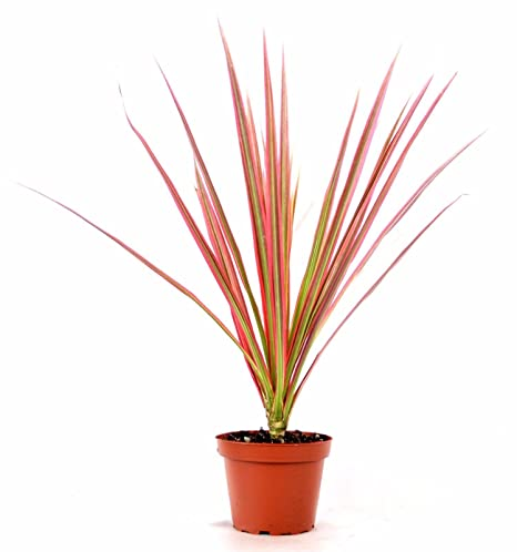 Amazon.com : Live Red Cordyline 'Red Star' - 4