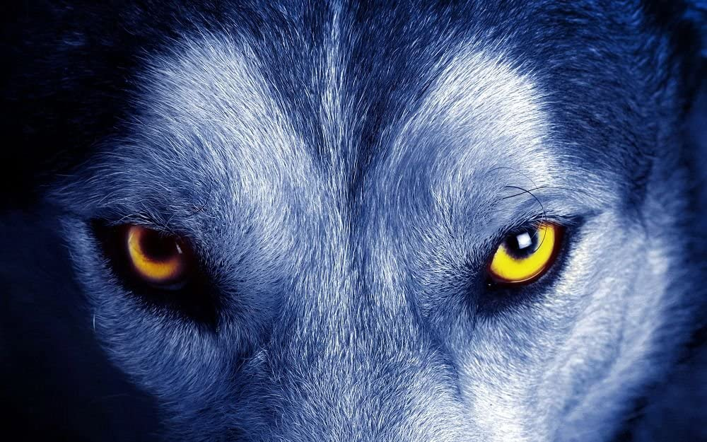 Amazon Com Art Print Wall Stickers Posters Yellow Eyes Wolf 16x24 Inches Home Kitchen