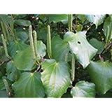 50 seeds Macropiper excelsum, fresh viable seeds of Maori-Kava, Kawakawa, Kaw...