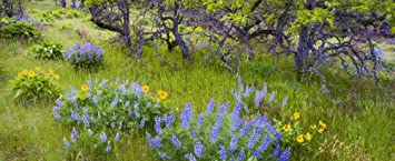Amazon balsamroot and lupine flowers below oregon white oak balsamroot and lupine flowers below oregon white oak trees columbia river gorge oregon usa poster print mightylinksfo