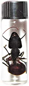 unmountedunspread  30mm  A1 for all your taxidermy art projects FREE SHIPPING Set of 8 giant ants camponotus gigas