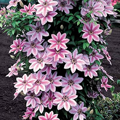 Carnaby Clematis Root (3''Pot) Makes a Dynamic Container Planting, Deer Resistant : Garden & Outdoor