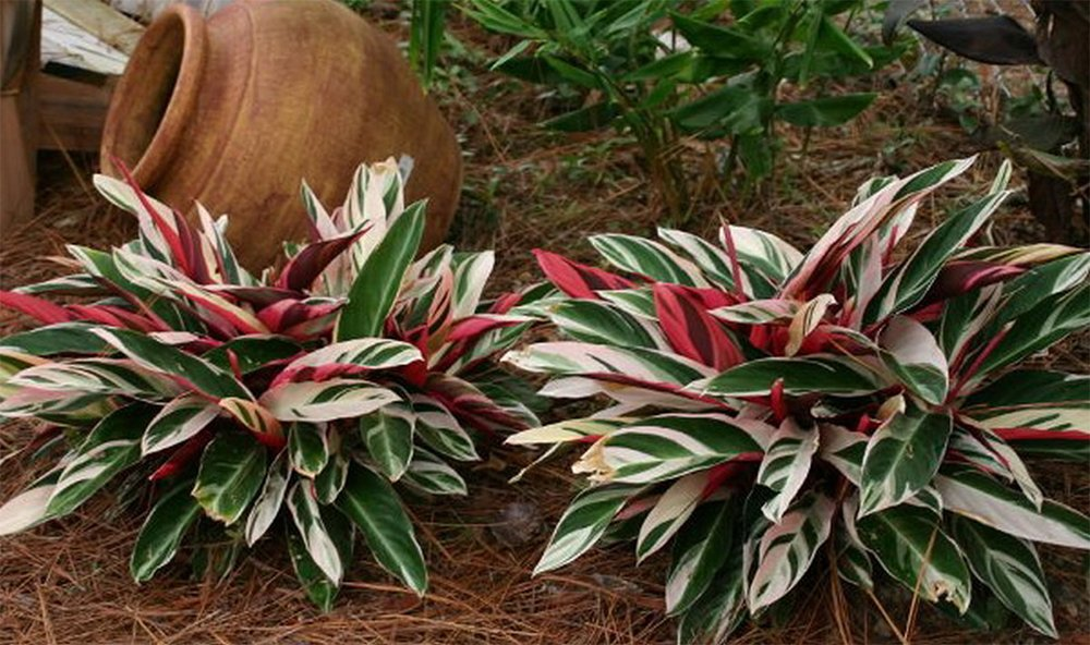 AMERICAN PLANT EXCHANGE Stromanthe Tri Color Ginger Live Plant, 3 Gallon, Multicolor by AMERICAN PLANT EXCHANGE