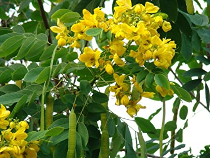 20 cassia fistula seeds golden shower tree yellow flower 20 cassia fistula seeds golden shower tree yellow flower bactyrilobium fistulathailands mightylinksfo