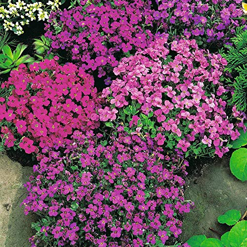 Aubrieta Rock Cress Cascade Mix, Aubrieta Hybrida Superbissima, Perennial, Hanging Baskets, Ground Cover, Rock Wall, Fragrant - Attracts Birds, Bees and Butterflies, Sow in Fall/Spring, 25 Seeds