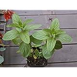 "LIVE Mint Peppermint Herb Plant - Organic NON-GMO - 4 Plants Fit 3.5"" Pot"