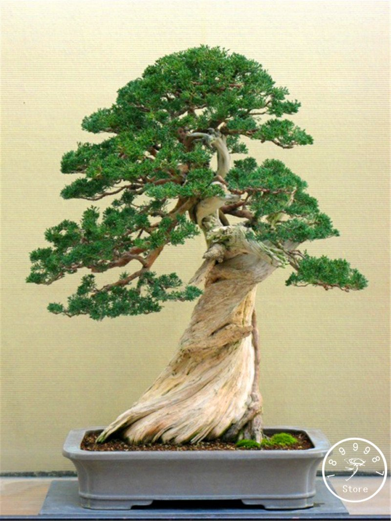 Big Sale!50 Seed/Bag juniper bonsai tree potted flowers office bonsai purify the air absorb harmful gases,#I2BVO1 SVI