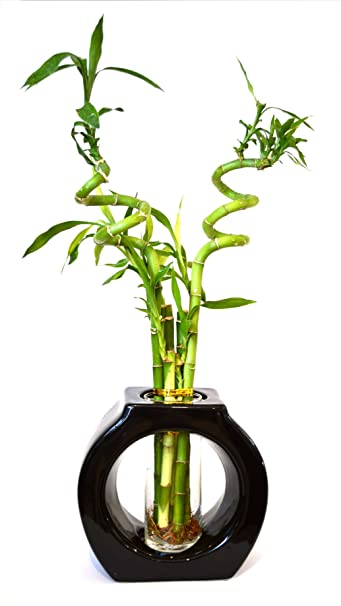 Amazon 9greenbox Lucky Bamboo Spiral Style 8 Tall Hollow