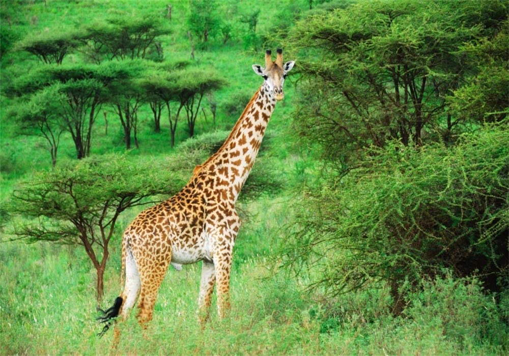 AOFOTO 10x7ft Safari Giraffe in Nature Reserve Backdrop African Wildlife Forest Park Photography Background Green Jungle Bush Outdoor Travel Kid Adult Artistic Portrait Photo Studio Props Wallpaper
