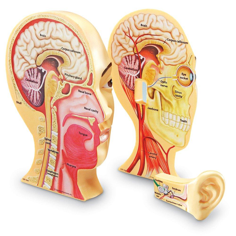 Lernmittel LER1909 Querschnitt Menschlicher Kopf: Amazon.de ...