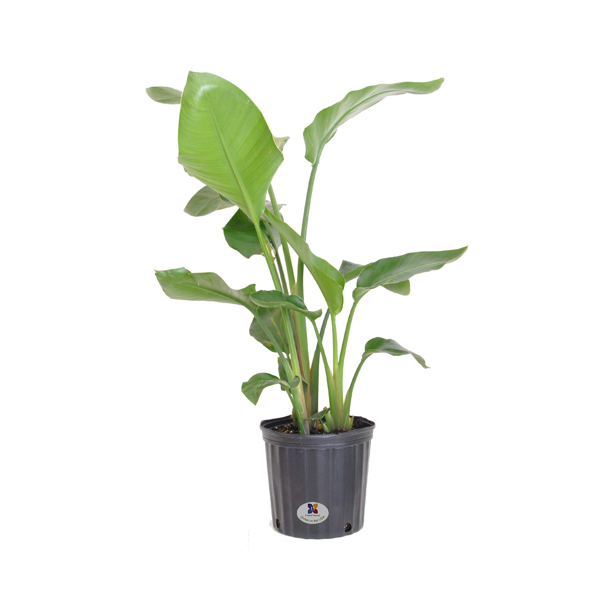 United Nursery White Bird of Paradise Live Indoor Strelitzia Nicolai Plant Shipped in 9.25 inch Grower Pot 30-38 inch Shipping Size (Large) by United Nursery