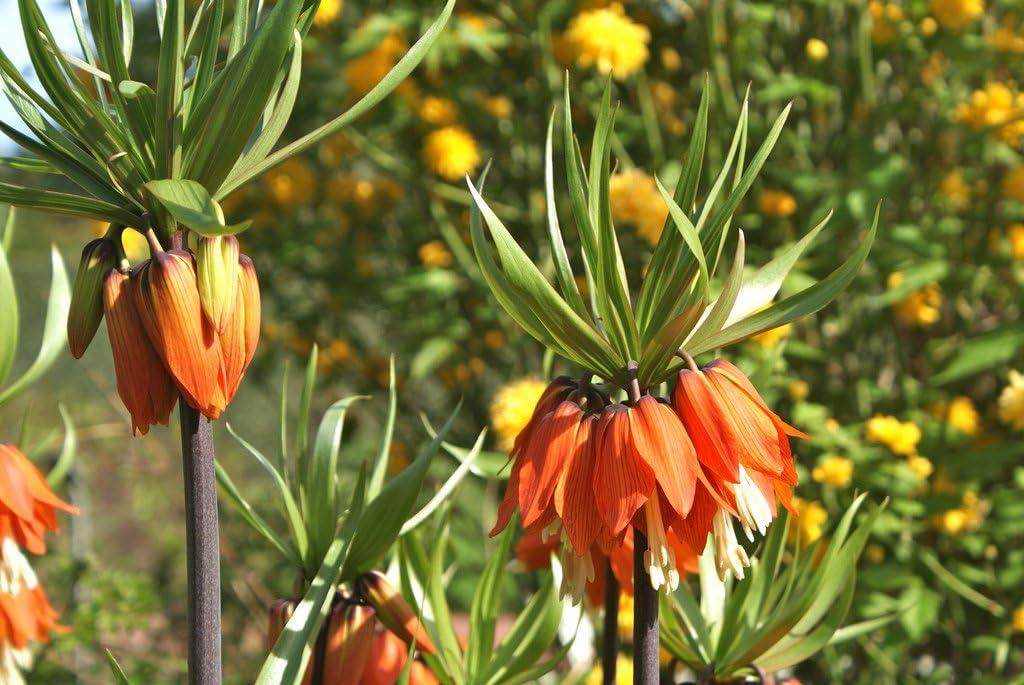 GARTHWAITE NURSERIES/® : UK Stockist Crown Imperial Aurora Hardy Orange Spring Garden Perennial Fritillaria Imperialis Bulbs