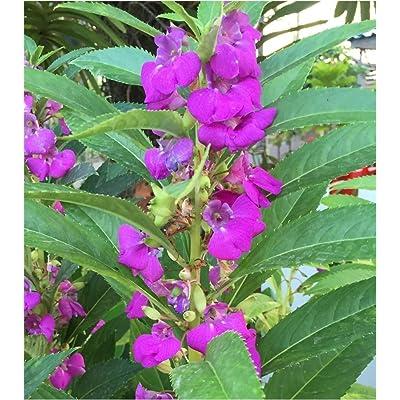 25 Seeds FRESH THAI BALSAM IMPATIENS PURPLE FLOWER : Garden & Outdoor