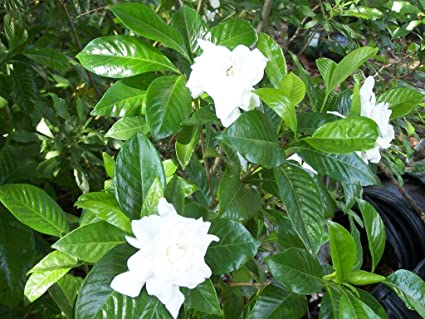 2   August Beauty Gardenia Flowering Shrubs In Trade Gallon Pots