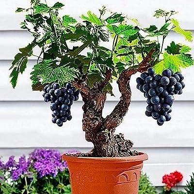 HOTUEEN Perennial Bonsai Outdoor Purple Grape Seeds Bonsai Plant Seeds Fruits : Garden & Outdoor