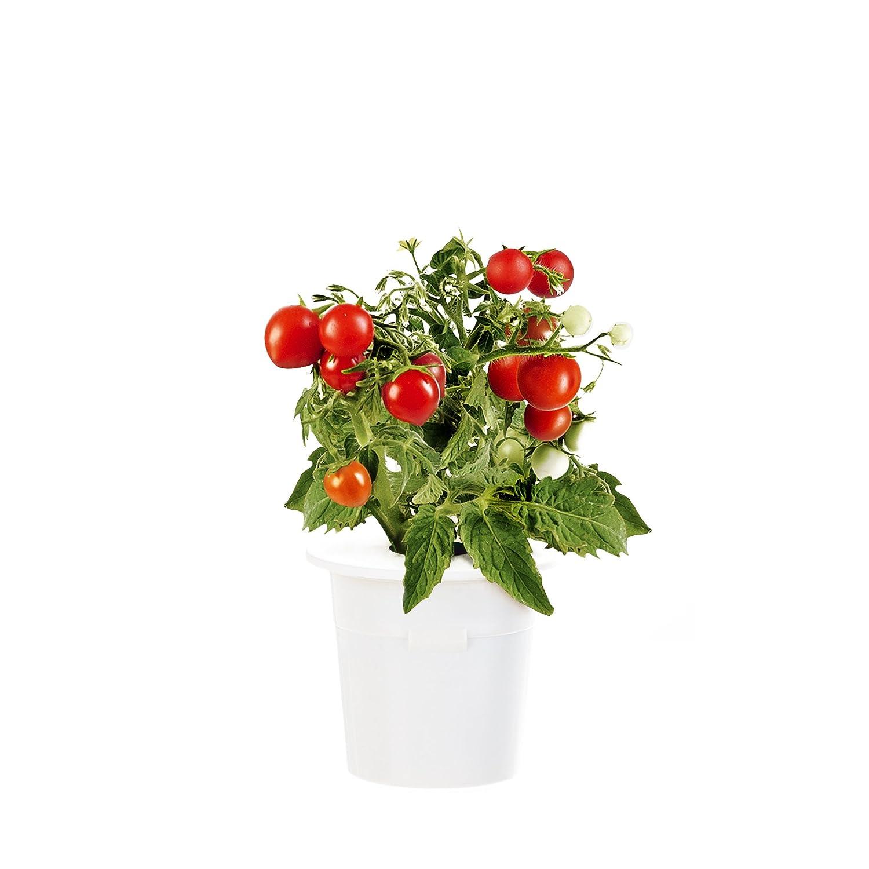 Click & Grow Mini Tomaten Nachfüllpackung 3er-Pack für deinen smarten Kräutergarten