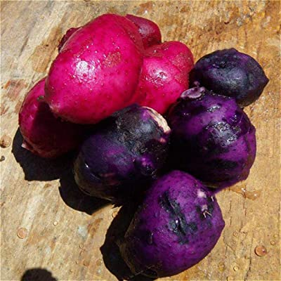 Kaimu Vegetable Seeds - 50pcs Potato Seeds Bonsai Delicious Vegetable Seeds Easy to Grow for Garden Vegetable Seeds : Garden & Outdoor
