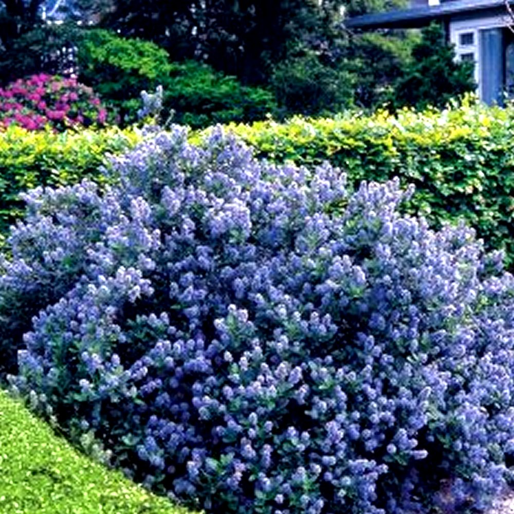 1 X CEANOTHUS 'YANKEE POINT' CALIFORNIA LILAC EVERGREEN SHRUB HARDY PLANT IN POT Gardener's Dream
