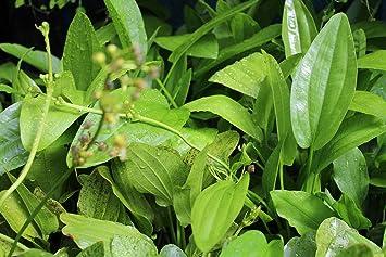 8 Echinodorus surtidos para acuario. Plantas acuáticas naturales: Amazon.es: Jardín