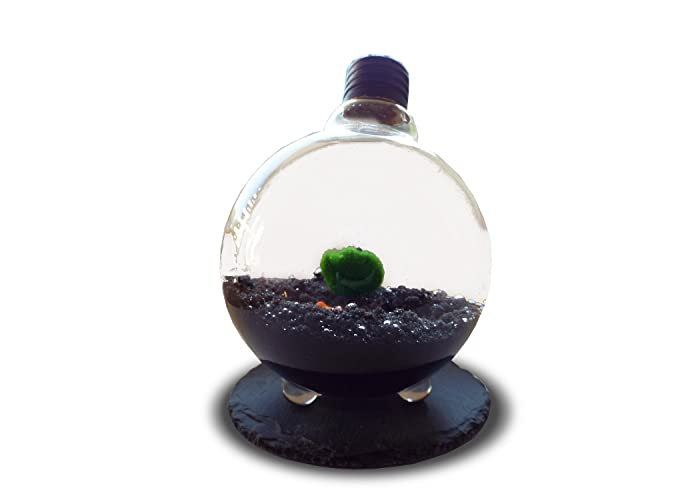 Luffy Marimo Moss Ball In Light Bulb Terrarium With Black Sand