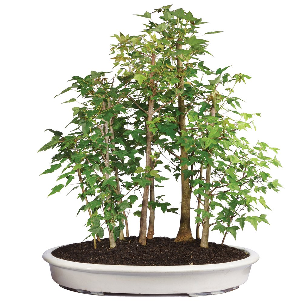 Brussel's Trident Maple Grove Bonsai - XXX Large - (Outdoor) by Brussel's Bonsai
