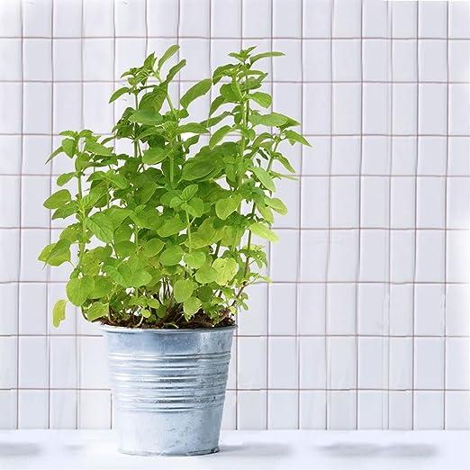 Pianta Aromatica Da Cucina Pianta Della Menta In Vaso 14 Cm Amazon It Giardino E Giardinaggio