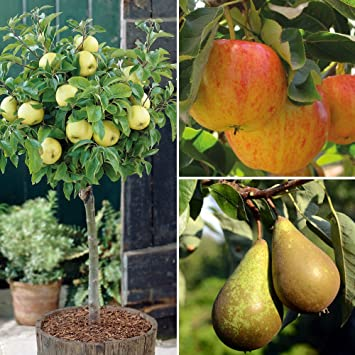 Dwarf Patio Fruit Tree Apple Pear Small Garden Trees Easy to Grow Miniature Orchard & Dwarf Patio Fruit Tree Apple Pear Small Garden Trees Easy to Grow ...