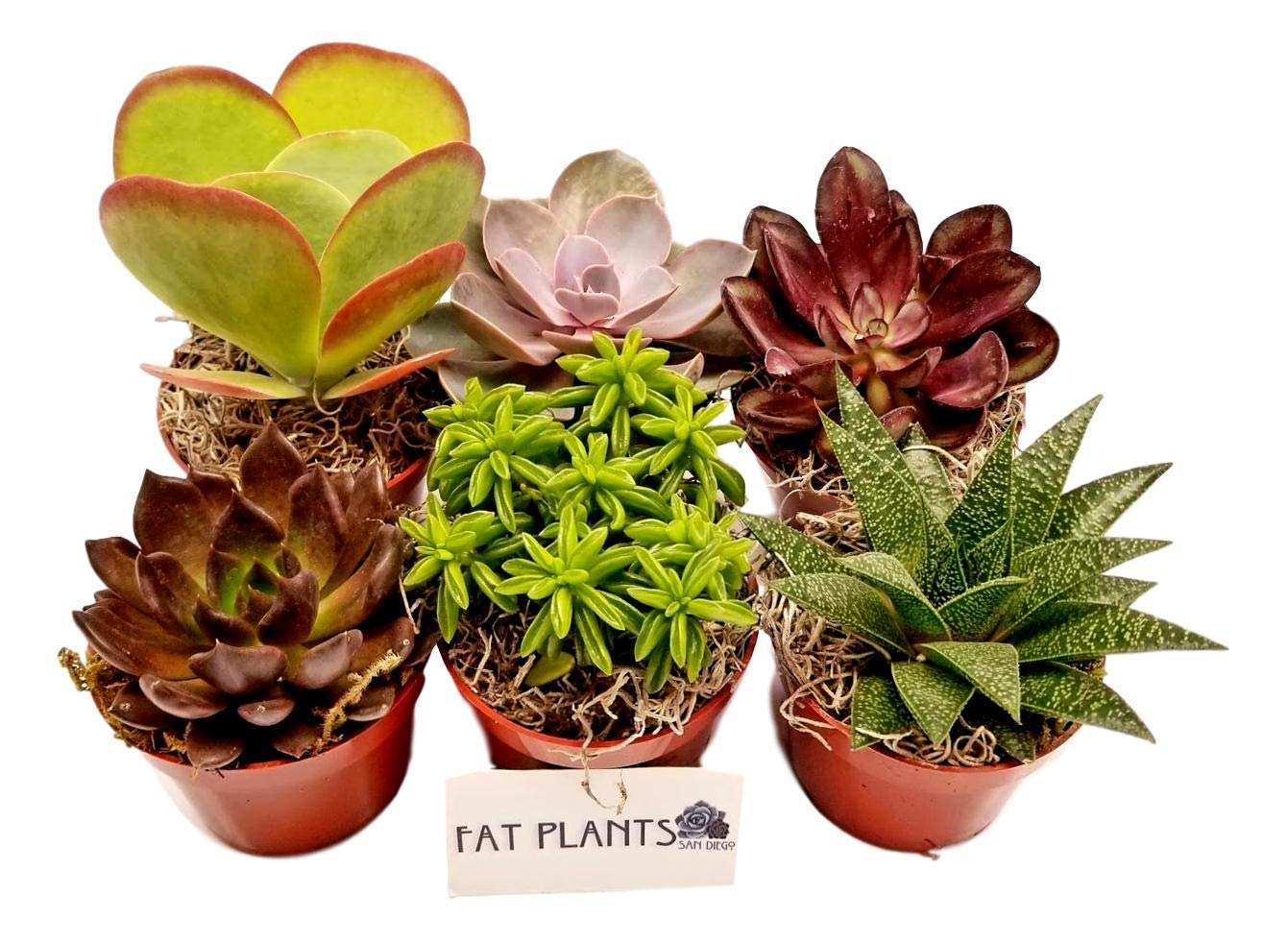 Fat Plants San Diego Live Succulent Plant Variety Collection by Fat Plants San Diego